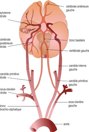 circulation sanguine cerveau